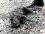 Il povero gatto Winston Churchill - detto Church - in una scena di Cimitero Vivente