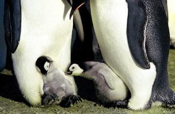 Due piccoli, irresistibili protagonisti del documentario La marcia dei pinguini