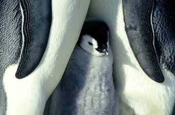 Uno dei piccoli protagonisti del film La marcia dei pinguini