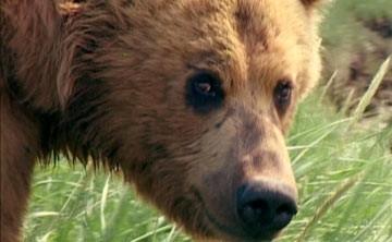 Il plantigrado del documentario Grizzly Man
