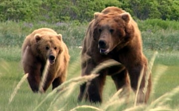 Una sequenza del documentario Grizzly Man