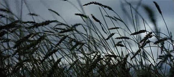 3.Spighe di grano piegate dal vento, cielo grigio
