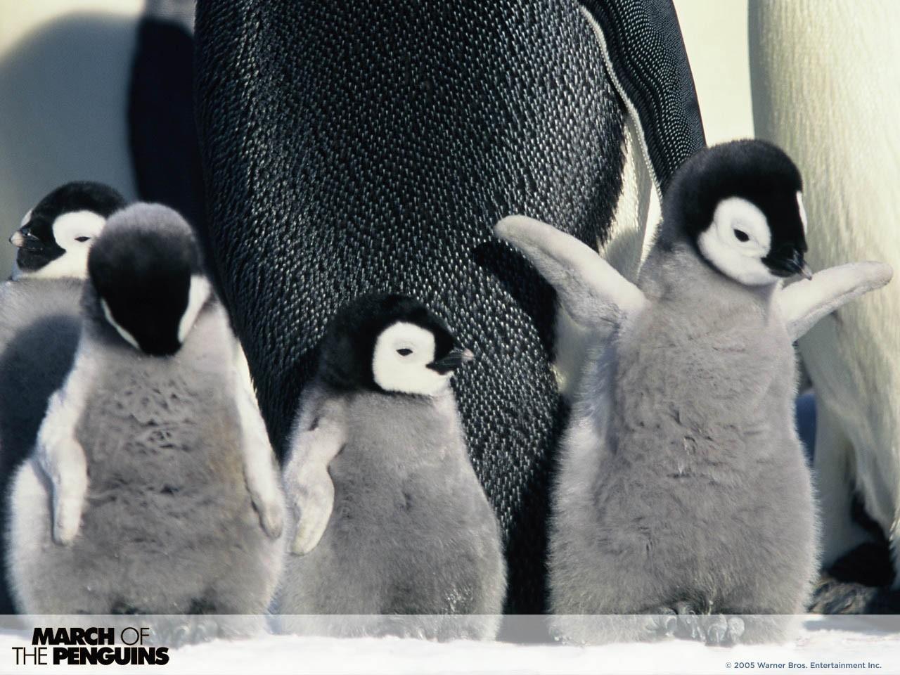 Wallpaper del documentario La marcia dei pinguini