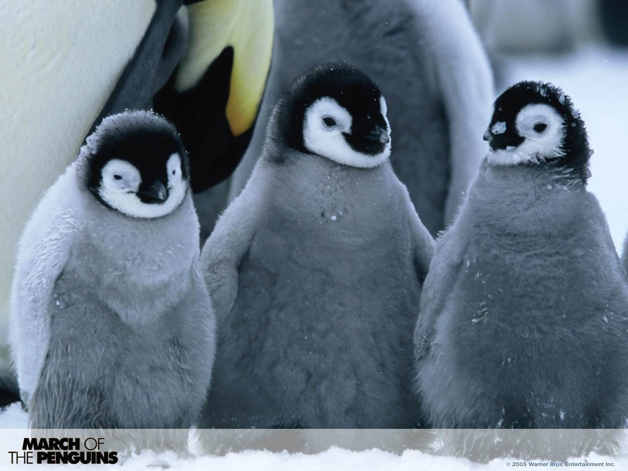 Wallpaper del film La marcia dei pinguini