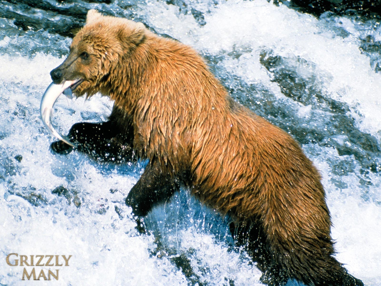 Un wallpaper del film Grizzly Man