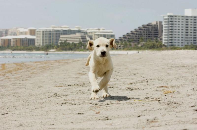 Il cucciolo di labrador del film Io & Marley