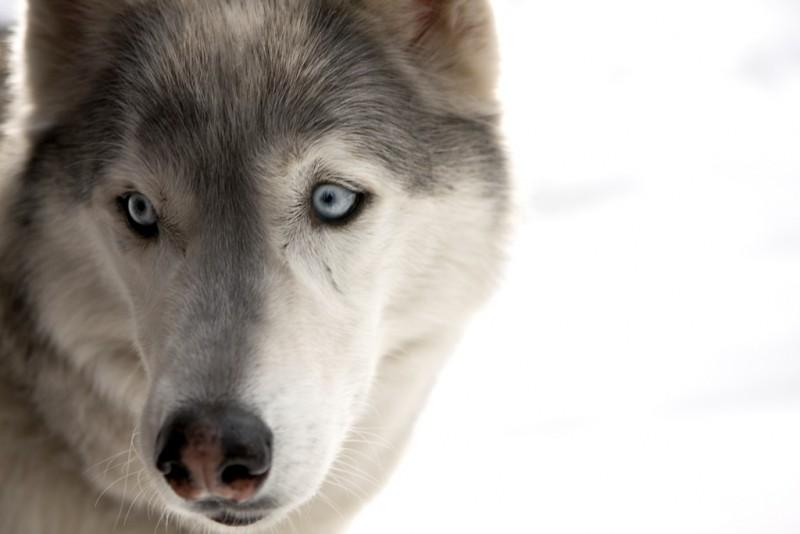 Un primo piano del cucciolo Buck, protagonista del film Il richiamo della foresta 3D
