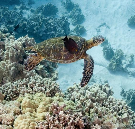 La tartaruga marina, una delle protagoniste del film Oceani 3D