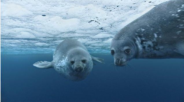 Anche le foche guardano in telecamera nel film Oceans