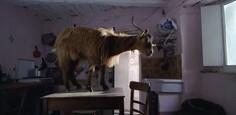 Un'immagine della capra ritratta dal film Le quattro volte
