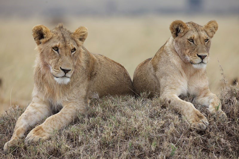 Una immagine del documentario African Cats