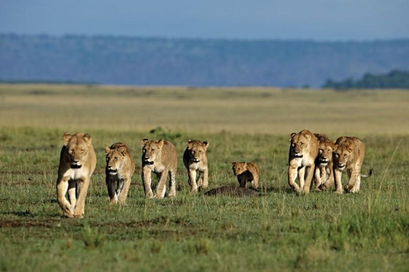 Una immagine del documentario  African Cats - Il regno del coraggio