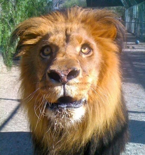 Uno dei pelosi protagonisti di We Bought a Zoo