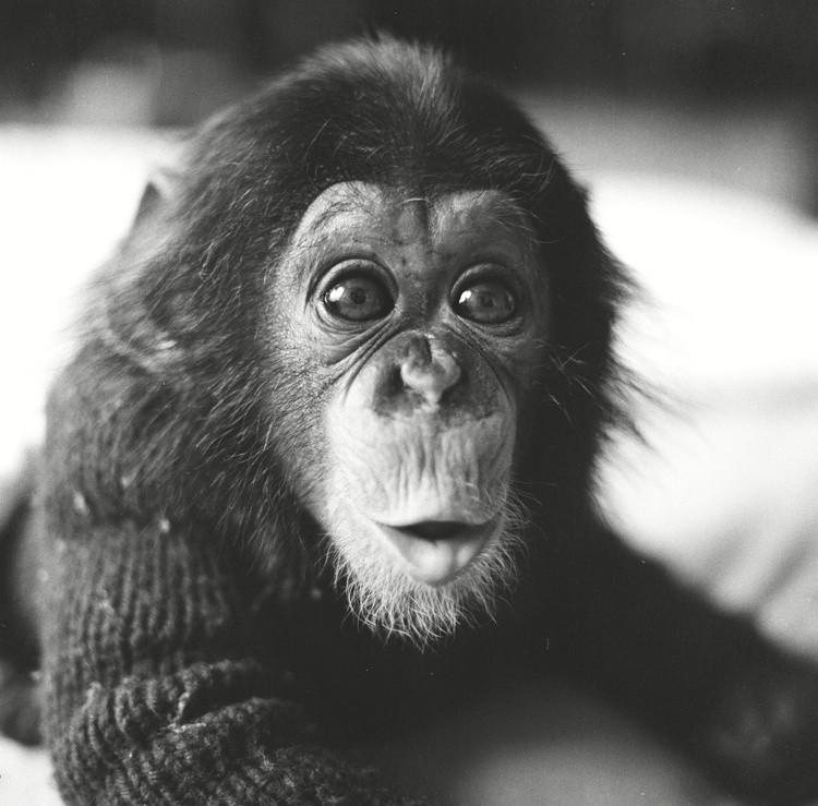 Project Nim: un bellissimo primo piano di Nim, lo scimpanzé allevato in famiglia protagonista del documentario