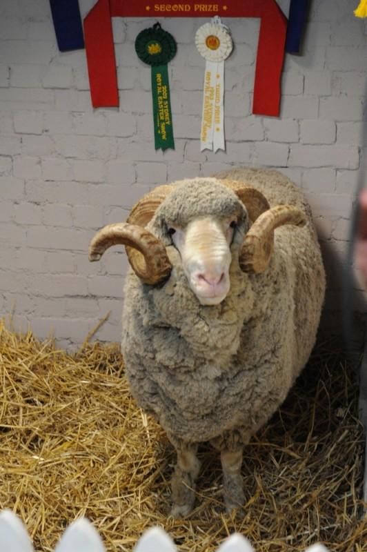 Tre uomini e una pecora: l'ariete Ramsy in una scena del film