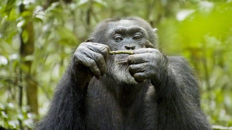 Chimpanzee, una immagine del documentario