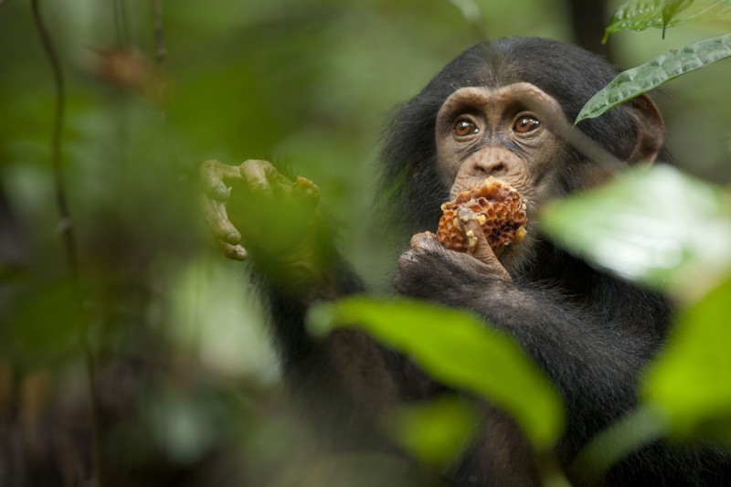 Chimpanzee, una immagine del documentario realizzato nel 2012