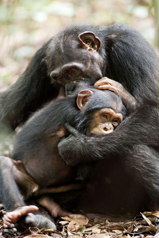 Chimpanzee, una tenera sequenza del documentario