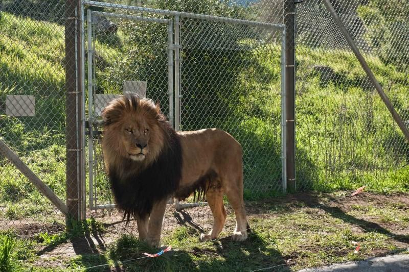 La mia vita è uno zoo: uno dei bellissimi leoni del film
