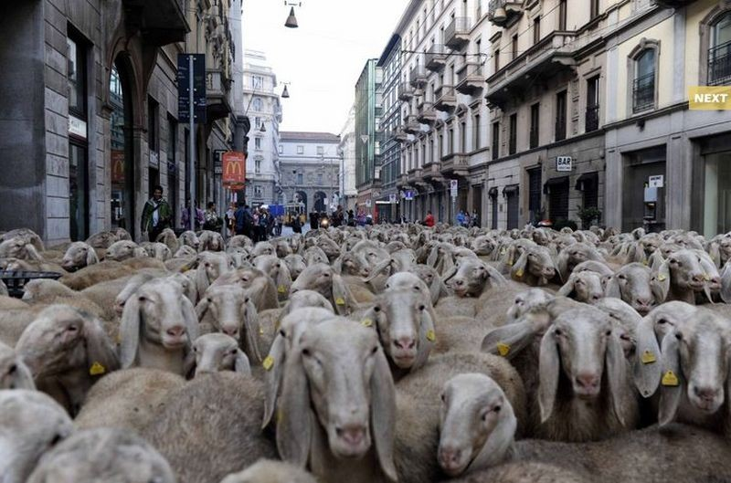 L'ultimo pastore: il gregge di Renato Zucchelli per le strade di Milano