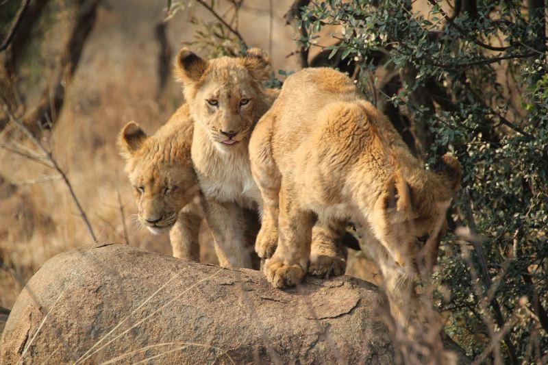 African Safari 3D: cuccioli di leone in una scena del film in 3D