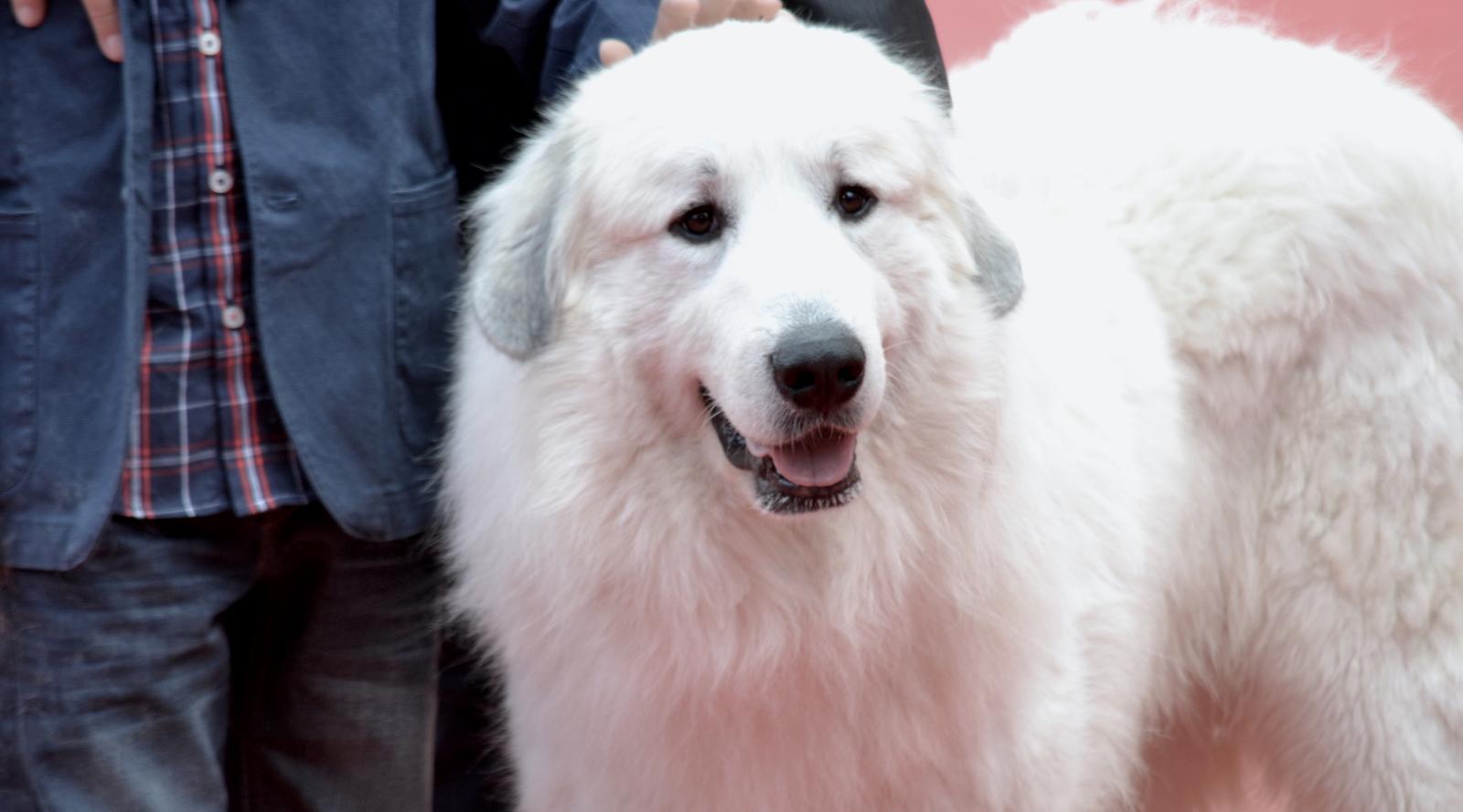 Roma 2015: Il cane Belle posa sul red carpet di Belle & Sèbastien, l'avventura continua