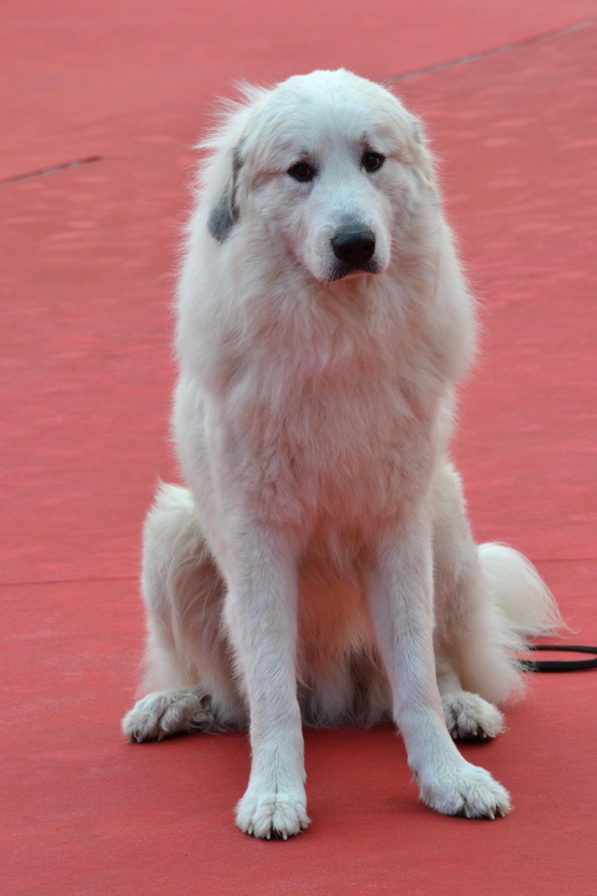 Roma 2015: il cane Belle in uno scatto sul tappeto rosso di Belle & Sèbastien, l'avventura continua