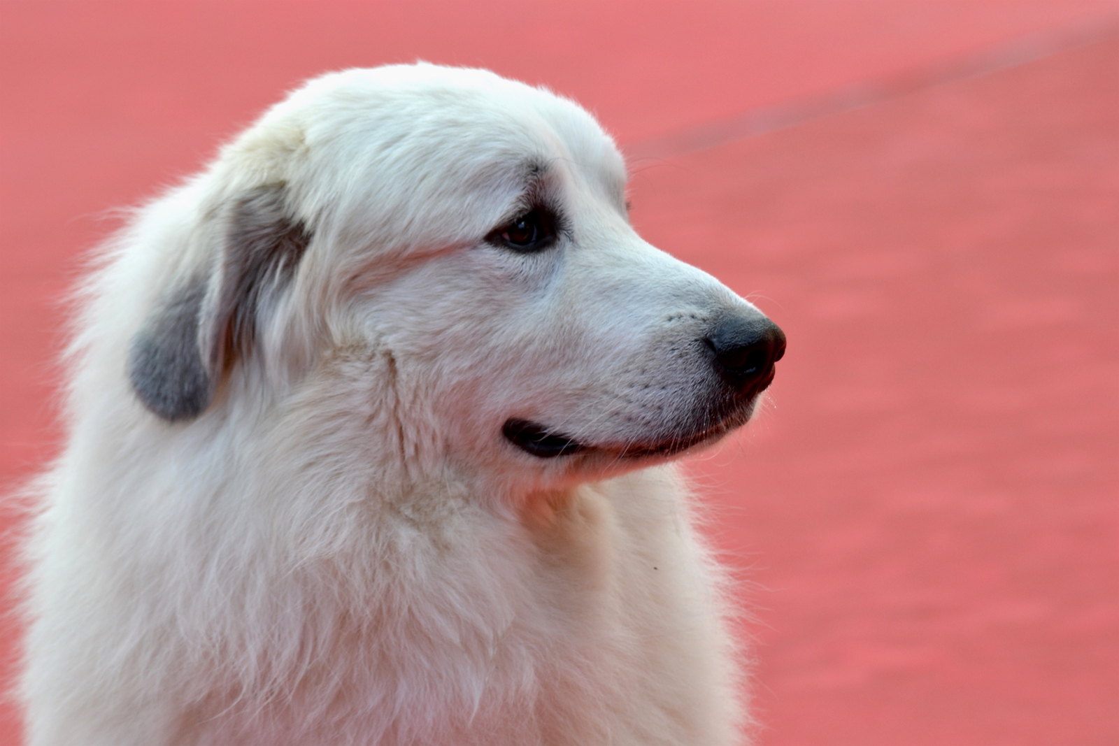 Roma 2015: Il cane Belle sul red carpet di Belle & Sèbastien, l'avventura continua