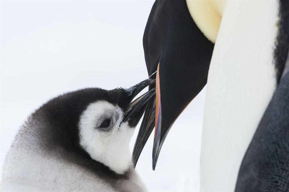La marcia dei pinguini - Il richiamo: un momento del documentario di Jacquet