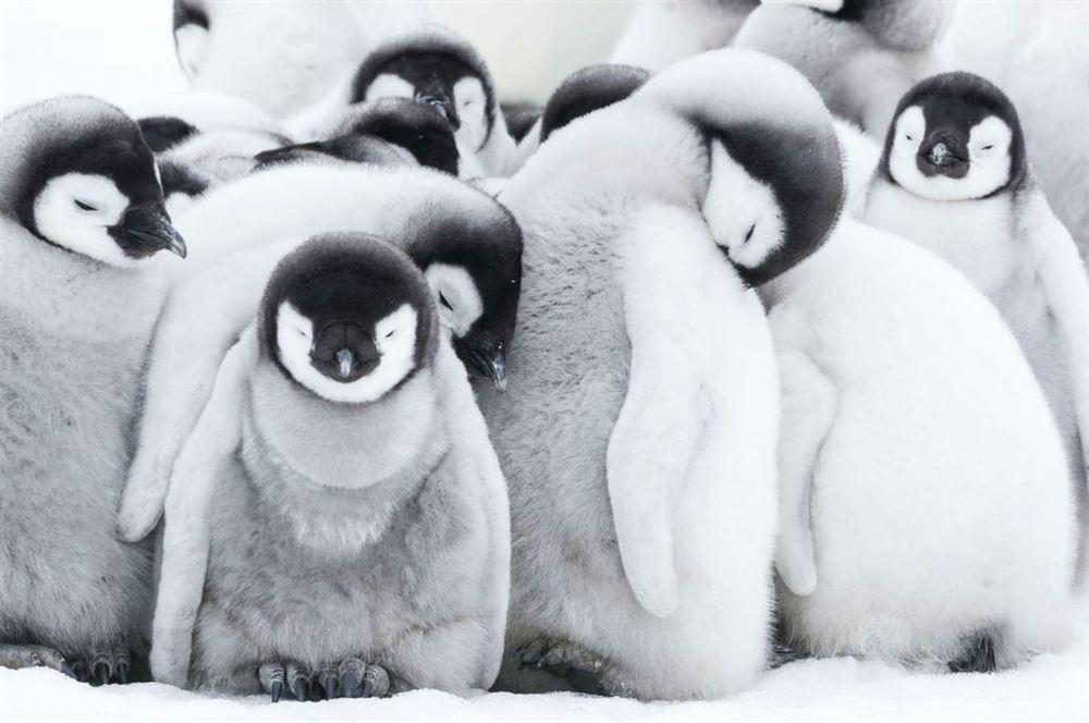 La marcia dei pinguini - Il richiamo: un momento del documentario