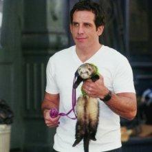 Ben Stiller alle rpese con un furetto in una scena del film ... e alla fine arriva Polly