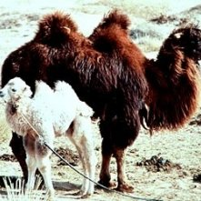 Una scena de 'La storia del cammello che piange
