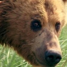 Il plantigrado del documentario Grizzly Man