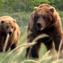 Una sequenza del documentario Grizzly Man