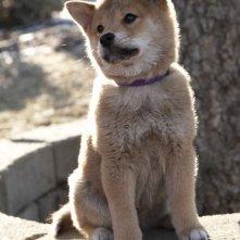 Il protagonista del film Hachiko - A Dog's Story