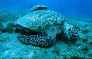 Una tartaruga marina ritratta nel film Oceans