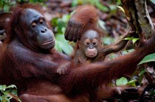 Una tenera immagine degli oranghi in Born to Be Wild 3D