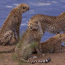 I felini protagonisti del documentario  African Cats
