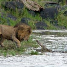 Un feroce confronto tra un leone e un coccodrillo nel documentario Disney Nature African Cats - Il regno del coraggio.