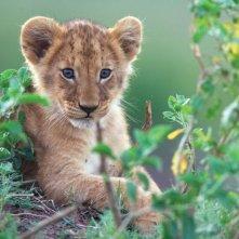 Una tenera immagine del documentario  African Cats - Il regno del coraggio