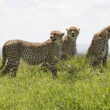 I felini protagonisti del documentario  African Cats - Il regno del coraggio