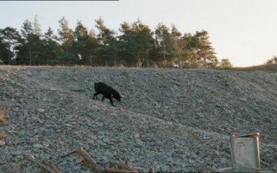 Labrador - Trailer