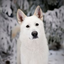 Ghost, il lupo albino di Jon Snow, in una scena dell'episodio Your Win or You Die di Game of Thrones
