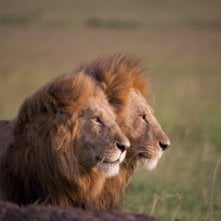 African Cats: il profilo di Kali, re della foresta