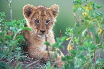 African Cats: la piccola Mara poco dopo la nascita