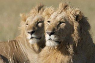 African Cats: una immagine dei leoni 'reali'