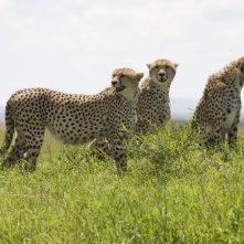 Gli eleganti ghepardi protagonisti del documentario  African Cats