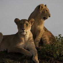 Le leonesse del documentario  African Cats - Il regno del coraggio