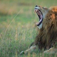 Primo piano tratto dal documentario  African Cats - Il regno del coraggio