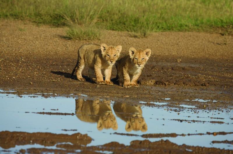Una Immagine Dei Cuccioli Di Leone Dal Documentario African Cats Il Regno Del Coraggio 209709